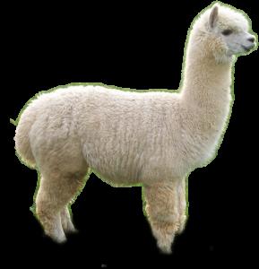 Alpagas ou Alpacas - Fine laine et coton du Pérou - Fine Alpaca
