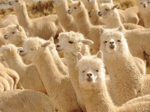 Troupeaux d'alpagas - Fine Alpaca fine laine et coton du Pérou