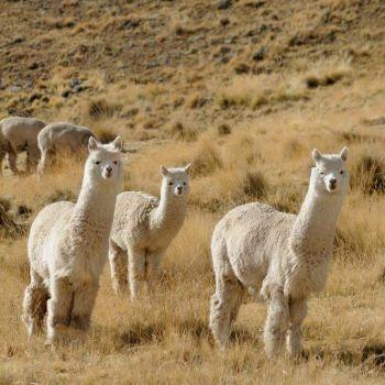 Espèces d'Alpaga la Huacaya - Fine Alpaca fine laine et coton du Pérou