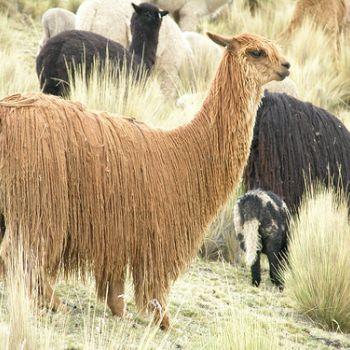 Espèces d'Alpaga le Suri - Fine Alpaca fine laine et coton du Pérou